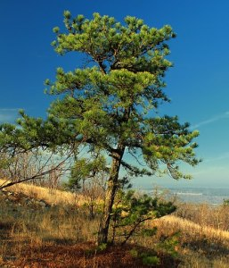 The Pitch Pine Tree